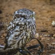 Cute little owl — Stock Photo #52251821
