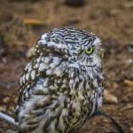 Cute little owl — Stock Photo #52251839