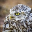 Cute little owl — Stock Photo #52251855