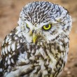Cute little owl — Fotografia Stock  #52251865