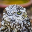 Cute little owl — Stock Photo #52251895