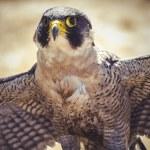 ������, ������: Peregrine falcon