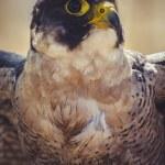 Постер, плакат: Peregrine falcon