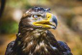 Imperial eagle — Stock Photo