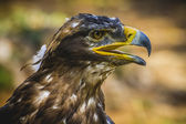 Imperial eagle — Photo