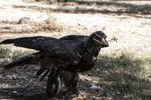Bruin eagle — Stockfoto