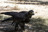 Brown eagle — Stock Photo