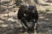 Коричневый орел — Стоковое фото