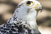 Beautiful white falcon — ストック写真