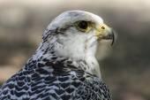 Beautiful white falcon — Stock Photo