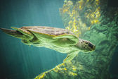 Huge sea turtle — Stock Photo