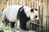 Panda bear playing — Stock Photo