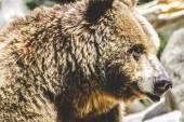 Lurviga brunbjörn — Stockfoto