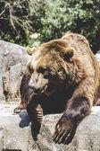 Furry brown bear — Foto de Stock