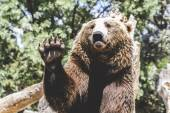 Bear waving with claw — Stock Photo