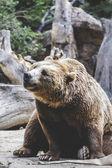 Kožešinový medvěd hnědý — Stock fotografie