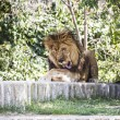 Lion lying in the sun — Stock Photo #58748027