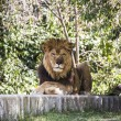 Lion lying in the sun — Stock Photo #58748041