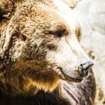 Spanish powerful brown bear — Stock Photo #58749305