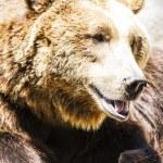 Brown bear — Stock Photo #58749367