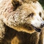 Brown bear — Stock Photo #58749483