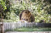 Lion lying in the sun — Stock Photo