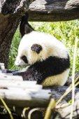 Beautiful breeding panda bear — Stock Photo