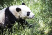 Beautiful breeding panda bear — Stock Photo