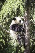 Beautiful breeding panda bear — 图库照片