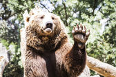 Bear waving with claw — Stockfoto