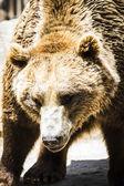 Beautiful and furry brown bear — Stock Photo