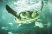 Huge turtle swimming — Stockfoto