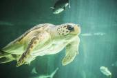 Huge sea turtle underwater — 图库照片