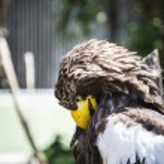 Spanish golden eagle — Stock Photo #58750701