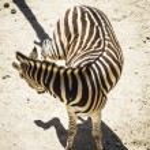 Zebra in a zoo park — Stock Photo #58752385