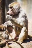 Baboon eating — Stock Photo