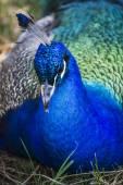 Beautiful peacock deep blue — Stock Photo