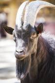 Goat with horns — Stock Photo