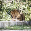 Male lion lying in the sun — Stock Photo #58811987