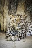 Powerful leopard resting — 图库照片