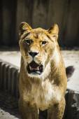 Lioness in a zoo — Stock Photo