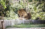 Male lion lying in the sun — Stock Photo