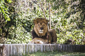 Male lion lying in the sun — Stockfoto