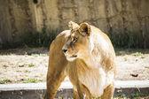 Big lioness resting — Stock Photo
