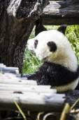 Beautiful breeding panda — Stock Photo