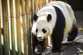Beautiful breeding panda — 图库照片