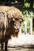 Mighty bison — Stock Photo