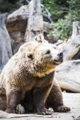 Furry brown bear — Stock Photo