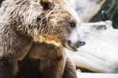 Пушистый бурый медведь — Стоковое фото