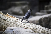 Raven on tree branch — Stock Photo